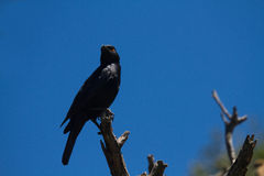 Pale-winged Starling sitting on a branch. Namibia Stock Images