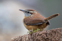 Pale Wren. Pale house wren perched on a mossy log Stock Photos