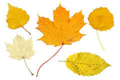 Pale and yellow autumn leaves stock photography