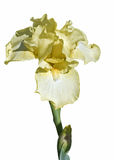 Pale Yellow Bearded Iris. Single stem of light yellow bearded iris flower with isolated against a white background Royalty Free Stock Photos