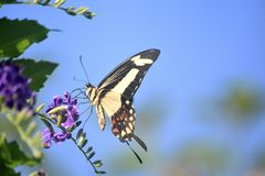 Pale Yellow and Black Giant Swallowtail Butterfly. Pretty pale yellow and black giant swallowtail butterfly on a flower royalty free stock images