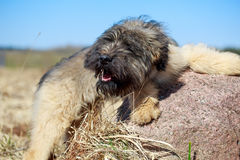 Pale yellow briard puppy Stock Photography