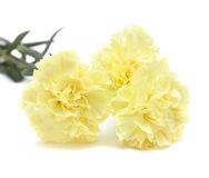 Pale yellow carnation flowers isolated Stock Photo