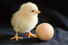 A pale yellow chick stands next to an egg on a black background. One pale yellow chick stands next to an egg on a black background royalty free stock images
