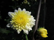 Pale Yellow Chrysanthemum Against Dark Background. A yellow and cream mum flower blooming in my garden. Photo taken along the little steel fence rail stock images