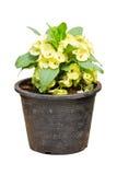 Pale Yellow Crown Of Thorns blomma, Euphorbia Milli Desmoul. royaltyfri bild