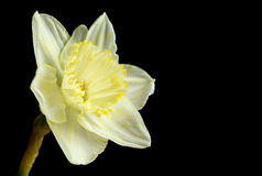 Pale yellow daffodil Royalty Free Stock Photo