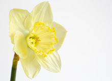 Pale yellow daffodil Stock Photos