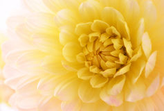Pale yellow dahlia Stock Photography