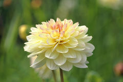 Pale yellow dahlia flower Stock Images