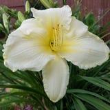 Pale yellow daylily. Large, pale yellow reblooming daylily Stock Photo