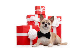 Pale yellow doggy lies near the presents. Pale yellow doggy with bow tie lies near the presents, isolated on white Royalty Free Stock Image