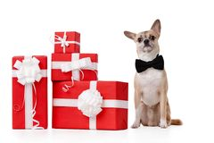 Pale yellow doggy sits near the gifts. Pale yellow doggy sits near the presents, isolated on white Royalty Free Stock Photos