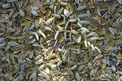 Pale yellow fallen leaves of pagoda tree. From above Royalty Free Stock Photography