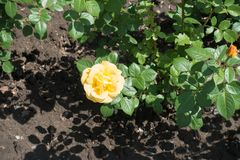 Pale yellow flower of rose. In May royalty free stock images