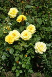 Pale yellow flowers and glossy leaves of rose Royalty Free Stock Photography