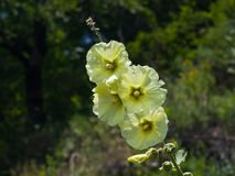 Pale yellow flowers on Hollyhock, Alcea Rugosa, close-up with bokeh background, selective focus, shallow DOF.  Royalty Free Stock Photo