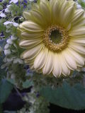 Pale yellow gerbera daisy Royalty Free Stock Images