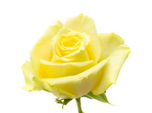 Pale yellow and green rose isolated Royalty Free Stock Photography