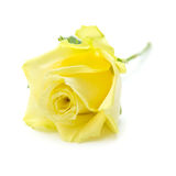 Pale yellow and green rose isolated Stock Images