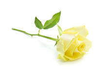 Pale yellow and green rose isolated Stock Photos