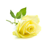 Pale yellow and green rose isolated Royalty Free Stock Photo