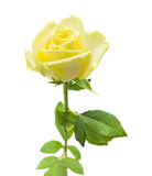 Pale yellow and green rose isolated Royalty Free Stock Photos