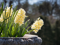 Pale Yellow Hyacinths Royalty Free Stock Photos
