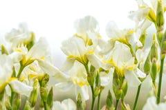 Pale yellow irises on white background Stock Photos