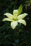 Pale Yellow Lilly Flower Imagem de Stock Royalty Free