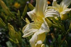 Pale Yellow Lily dans un jardin des Daylilies Photo stock