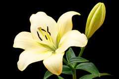 Pale yellow lily Royalty Free Stock Photos