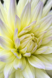 Pale yellow and pink cactus type Dahlia Stock Photography