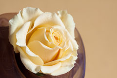 Pale yellow rose. On a yellow background Stock Photo