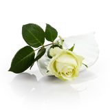 Pale Yellow Rose Royalty Free Stock Image