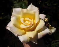Pale Yellow Rose Stock Photography