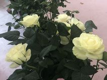 The Pale Yellow Rose in International Horticultural Exhibition 2019 Beijing China. A Pale Yellow Flower in International Horticultural Exhibition 2019 Beijing stock image