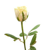 Pale yellow rose isolated Stock Image