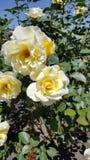 Pale Yellow Rose Rosacaea Bush photos libres de droits