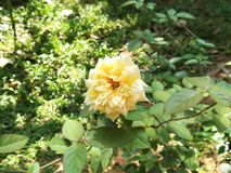 Pale Yellow Rose Sri Lanka leggero fotografia stock libera da diritti
