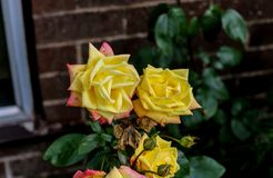 Pale Yellow Roses in an English garden. A group of pale yellow roses growing in an English garden Royalty Free Stock Photo