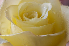 Pale yellow roses with water drops. Stock Images