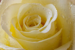 Pale yellow roses with water drops. Royalty Free Stock Photo