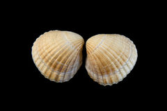 Pale yellow shell on black background Stock Photography