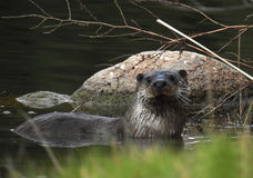 Paleartic Otter (Lutra lutra) Stock Photography
