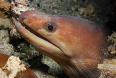 Palechin Moray Stock Photos