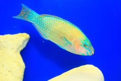 Palenose Parrotfish Stock Images