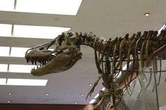 Paleontologisch Museum Schedels en skeletten van dinosaurussen royalty-vrije stock afbeelding