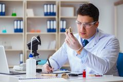 The paleontologist looking at extinct animal bone. Paleontologist looking at extinct animal bone royalty free stock photography