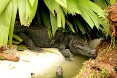 Paleosuchus trigonatus in the shade Royalty Free Stock Image